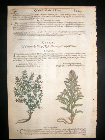 Gerards Herbal 1633 Hand Col Botanical Print. Genista, Scorpion Furze | Albion Prints